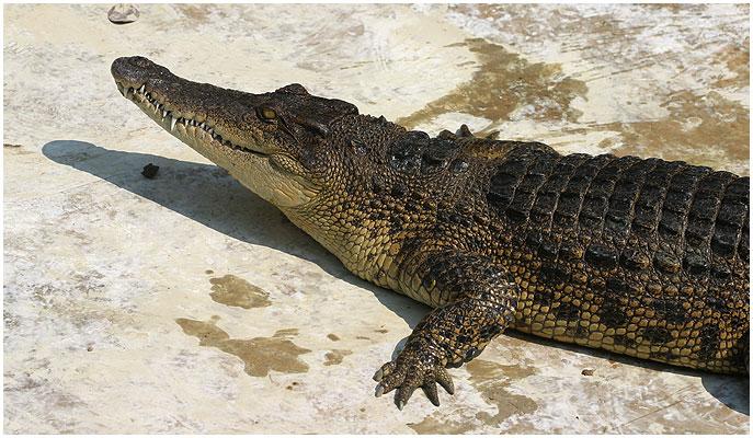 گاندو (کروکدیل ایرانی) : Mugger Crocodile