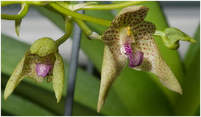 Bulbophyllum guttulatum - virkelig smukke små blomster i en fin klase for enden af et skaft på 20-25 cm.